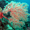 Orange Wire Sea Fan