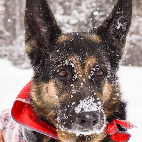 It's all in the eyes by Mikahla Dorey - Animals - Dogs Portraits ( snow, dog, german shepherd )