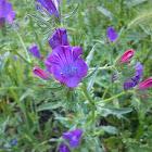 Viborera / purple viper's bugloss