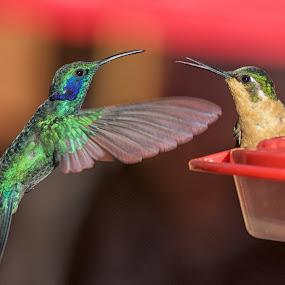 by Betty Arnold - Uncategorized All Uncategorized ( bird, hummingbird, aminmal,  )