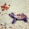 Hawksbill Sea Turtle hatchling