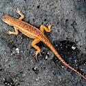 San Cristóbal Lava Lizard