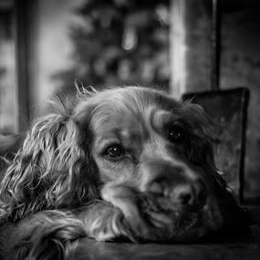 Joe  by Fabio Grezia - Animals - Dogs Portraits ( dogs, cocker spaniel, cocker )