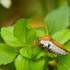 Litchi Stink Bug