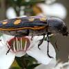 Jewel Beetle - 8