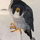 Peregrine Falcon (falcão peregrino)