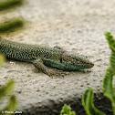 Madeira Wall Lizard