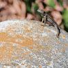 Great Basin Fence Lizard