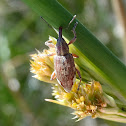 Weevil on sedge