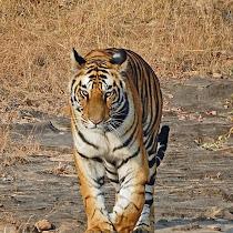 Great Mammals of India