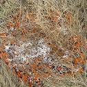 Orange Star Lichen