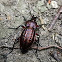 European Ground Beetle - Střevlík měďěný