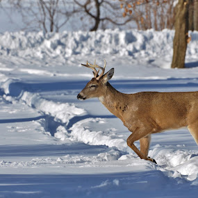 Young Buck by Viana Santoni-Oliver - Animals Other Mammals ( walking, seasonal, wildlife, forest, young, woods, mammal, winter, cold, nature, buck, antlers, snow, outside, outddor, deer, animal )