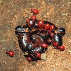 Millipede assassin bugs