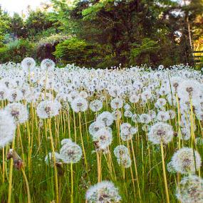Dandelions by Gerard Toney - Flowers Flowers in the Wild ( dandelion, seeds, weeds, dandelions, stalks )