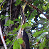 Bare-Throated Tiger Heron, adult