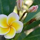 frangipani, bunga kamboja