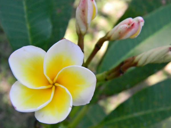 frangipani, bunga kamboja | Project Noah