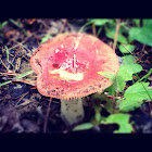 Bare-toothed russula