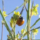 seven-spotted ladybug,Joaninha