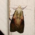 Bee Moth
