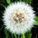 Dandelion Wallpapers for S3 icon