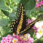 Central American Black Swallowtail