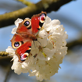 Peacock Butterfly on Cherry blossom by Tony Steele - Animals Insects & Spiders ( peacock butterfly cherry blossom )