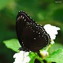 Malayan Eggfly
