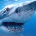 Sharks  LWP logo