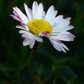 by Metka Majcen - Flowers Single Flower (  )