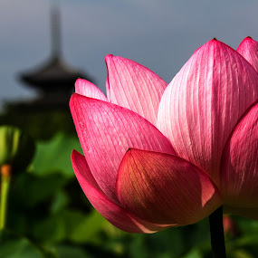 Lotus by Lenny Sharp - Flowers Single Flower ( temple, lotus, japan, bloom, yokohama, flower )