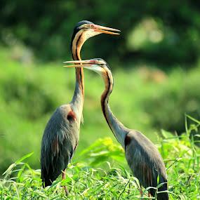 couple by Zulfikar Achmad - Animals Birds