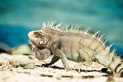 Curacao-Iguana - Challenge your culinary sensibilities on Curacao with a dish of iguana soup, a local delicacy.