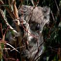 wild koala spotting