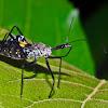 Reduviid Bug