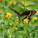 Palamedes Swallowtail
