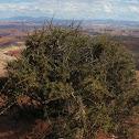 Dwarf Mountain Mahogany