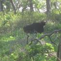 Gaur bull