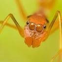 Ant mimic spider Female