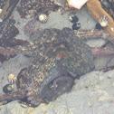Common Sydney Octopus