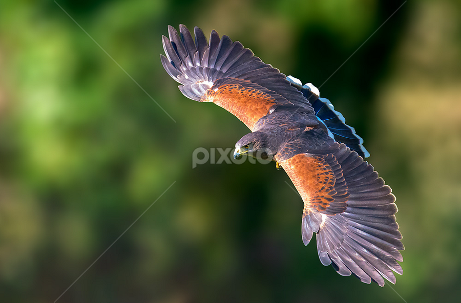 Harris's hawk by Roberto Melotti - Animals Birds ( roberto melotti, bird of prey, parabuteo unicinctus, nikon d810, harris's hawk, dusky hawk, bird, flying, flight, poiana di harris, falco di harris, falcon, raptor, bay-winged hawk )