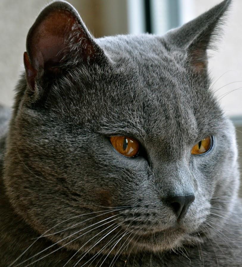Hugo de Ventadour by Serge Ostrogradsky - Animals - Cats Portraits ( chartreux )