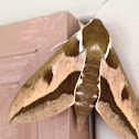 Spurge hawk moth