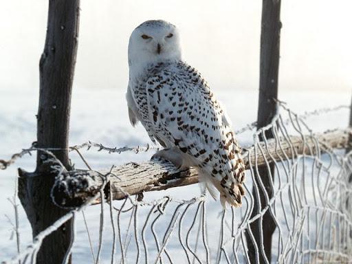 Snowy Owl Bird HD Wallpaper