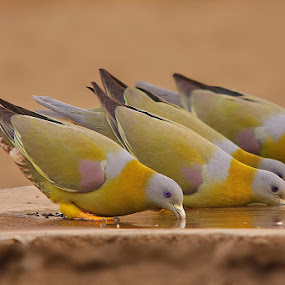 Yellow Footed Green Pigeon by Sharad Agrawal - Animals Birds ( bird, nature, rajasthan, udaipur, wildlife, india, birds,  )