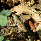 Western Side-Blotched Lizard