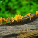 Yellow fungi