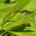 Large Red Damselfly (male)