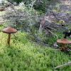 Webcap mushroom